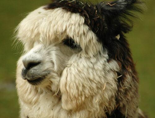 Mug Shots: Llamas and Alpacas