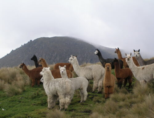 More Alpaca and Llama Lore