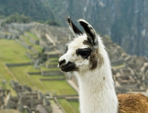 10 Fascinating Things You May Not Know About Llamas